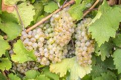 Schließen Sie oben von den Rieslings-Weißwein-Trauben #2 Stockbild