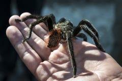 Schließen Sie oben von der schwarzen Spinne, die auf einer Hand sitzt Lizenzfreies Stockfoto