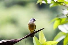Schließen Sie oben von der Seite des Kopfes von tropischem, gelb-throated, Baritonhörner, Vogel, Baritonhörner hirundinacea, Stockfotos