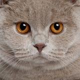 Schließen Sie oben von einem britischen shorthair (9 Monate alte) Stockbilder