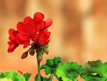 Schließen Sie oben von einer roten Pelargonienblume Lizenzfreie Stockbilder
