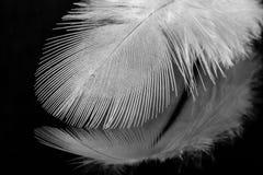 Schließen Sie oben von einer weißen Feder auf schwarzem reflektierendem Hintergrund Stockbilder