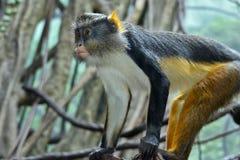 Schlingt Mona Monkey hinunter Stockbilder