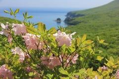 Schlippenbachii de rhododendron au bord de la mer Photographie stock
