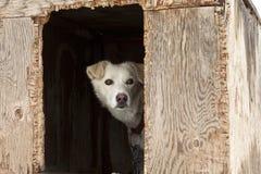 Schlitten-Hund in der Furnierholz-Hundehütte Lizenzfreies Stockbild