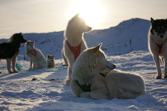 Schlitten-Hunde in Grönland Stockfotografie