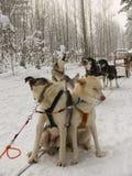 Schlitten-Hunde im Schnee Lizenzfreies Stockbild