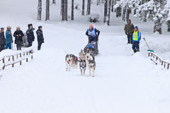 Schlitten-Hunderennen, -fahrer und -hunde während des skijoring Wettbewerbs Stockfoto