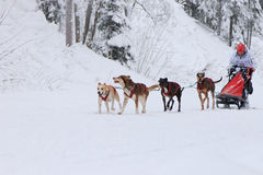 Schlitten-Hunderennen, -fahrer und -hunde während des Wettbewerbs auf der Winterstraße Lizenzfreie Stockbilder