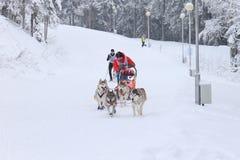 Schlitten-Hunderennen, -hunde und -fahrer während des skijoring Wettbewerbs Stockfoto