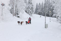 Schlitten-Hunderennen, Rettungshundestaffel während des Wettbewerbs auf der Winterstraße Lizenzfreie Stockfotografie