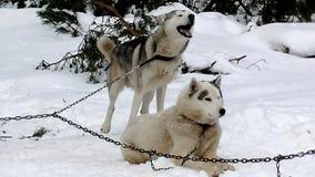 Schlitten-Schlittenhund auf anzuketten der Leine stock footage
