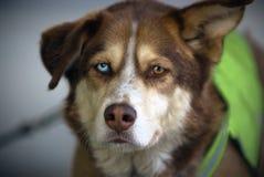 Schlittenhund 2 Stockfotografie