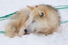 Schlittenhund Lizenzfreie Stockfotos