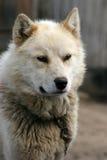 Schlittenhund auf Abdeckung in Ilulissat Lizenzfreie Stockfotografie