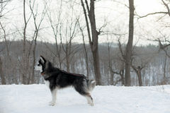 Schlittenhund auf einer Leine, im Winter im Schnee im Wald Lizenzfreies Stockfoto