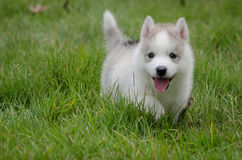 Schlittenhund auf Gras Stockbilder