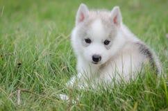 Schlittenhund auf Gras Stockfotos