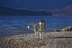 Schlittenhund auf a lakeshore Lizenzfreie Stockfotografie