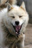 Schlittenhund, der laut in Ilulissat bellt Lizenzfreies Stockbild