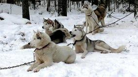 Schlittenhund der sibirischen Huskys, der auf den Lauf wartet stock video