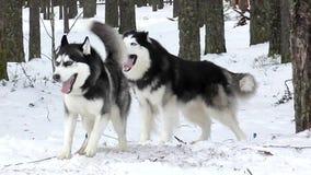 Schlittenhund der sibirischen Huskys, der auf den Lauf wartet stock footage