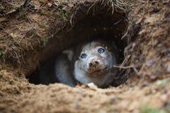 Schlittenhund in einem Loch Stockfoto