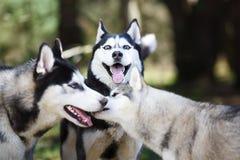 Schlittenhund in einem Wald lizenzfreies stockbild