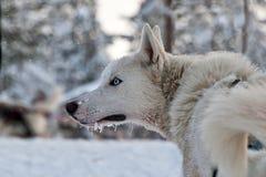 Schlittenhund im Schnee lizenzfreie stockfotos