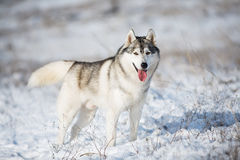 Schlittenhund im Schnee Stockfotos