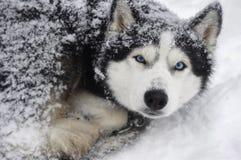 Schlittenhund im Schnee Stockfoto