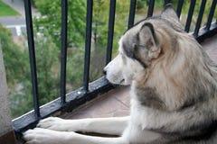 Schlittenhund im Schutz Stockfotos