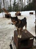 Schlittenhund ist die besten Hunde auf der Welt lizenzfreie stockfotografie