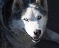 Schlittenhund mit blauen Augen Lizenzfreie Stockfotografie
