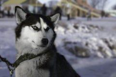 Schlittenhund mit Heterochromia lizenzfreies stockbild