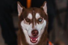 Schlittenhund mit verschiedenen Augenfarben stockfotos