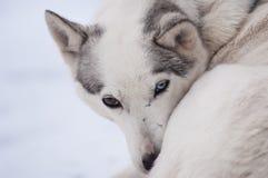 Schlittenhund mit verschiedenen farbigen Augen Lizenzfreies Stockbild