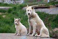 Schlittenhund mit Welpen in Ilulissat Stockfotos
