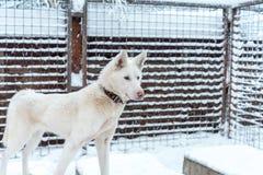 Schlittenhund nahe Rovaniemi in Lappland, Finnland lizenzfreies stockfoto