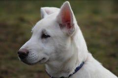Schlittenhund am SHCGB Stockfotografie
