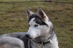 Schlittenhund am SHCGB Lizenzfreie Stockbilder