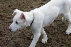 Schlittenhund am SHCGB Lizenzfreie Stockfotos