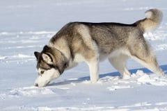 Schlittenhund steht am Schnee, der den Schnee weiß und gerochen worden sein würde lizenzfreie stockbilder