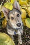 Schlittenhund- u. Colley-Hündchen Stockbilder