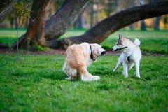 Schlittenhund- und Labrador-Hunde, die über einem hölzernen Stock in einem Sommer kämpfen Lizenzfreie Stockfotografie