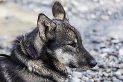 Schlittenhund wartet geduldig Anruf, um Schlitten zu ziehen Lizenzfreie Stockfotografie
