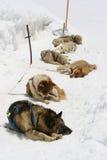 Schlittenhunde Lizenzfreie Stockbilder
