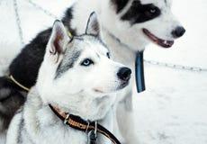 Schlittenhunde Stockfotografie