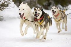 Schlittenhunde Lizenzfreies Stockbild