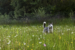 Schlittenhunde auf dem Feld Lizenzfreie Stockfotografie